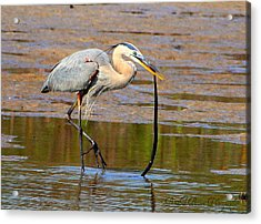 Great Blue Heron Wrestles A Snake Acrylic Print by Barbara Bowen
