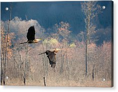 Great Blue Herons In Flight Acrylic Print by Bill Wakeley