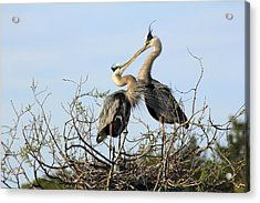 Great-blue Herons On Nest At The Venice Rookery, Florida Acrylic Print