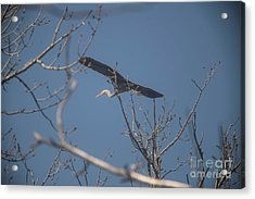 Acrylic Print featuring the photograph Great Blue In Flight by David Bearden