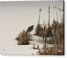 Great Blue In White Acrylic Print by Athena Ellis