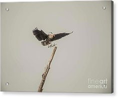Acrylic Print featuring the photograph Great Blue Landing by David Bearden