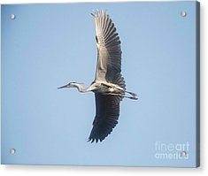 Acrylic Print featuring the photograph Great Blue On Final by David Bearden