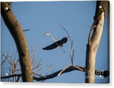 Acrylic Print featuring the photograph Great Blues Nesting by David Bearden