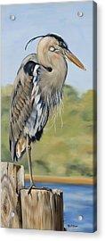 Great Blue Heron Standing Acrylic Print