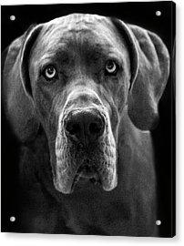 Great Dane  Acrylic Print by Alex Galkin