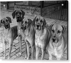 Great Danes Acrylic Print by Fox Photos