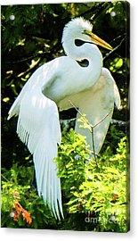 Great Egret Stretching Acrylic Print