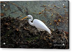 Great Egret At A Low Tide Acrylic Print
