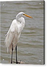 Acrylic Print featuring the photograph Great Egret by Bill Barber
