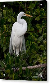 Acrylic Print featuring the photograph Great Egret by Chris Scroggins