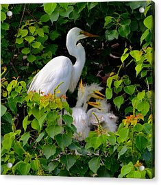 Great Egret Family Acrylic Print by Lindy Pollard
