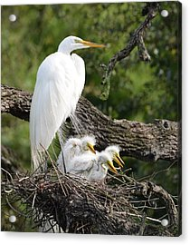 Great Egret Family  Acrylic Print by Richard Bryce and Family