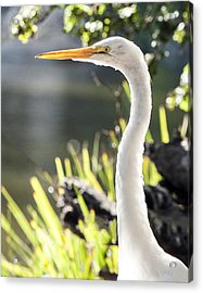 Great Egret Headshot Profile  Acrylic Print