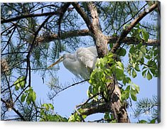Great Egret In Breeding Plumage Acrylic Print