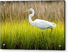 Acrylic Print featuring the photograph Great Egret In Cedar Point Marsh by Bob Decker