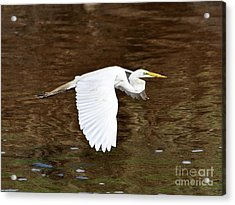 Great Egret In Flight Acrylic Print by Al Powell Photography USA
