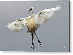 Great Egret Landing Acrylic Print by Lindy Pollard