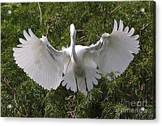 Great Egret Nest Builder Acrylic Print by Carol Groenen