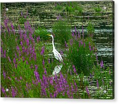 Acrylic Print featuring the photograph Great Egret - Purple by Donald C Morgan