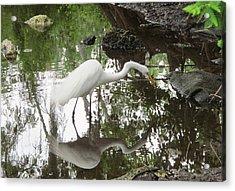 Great Egret Ready To Strike Acrylic Print