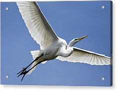 Acrylic Print featuring the photograph Great Egret Soaring by Gary Wightman