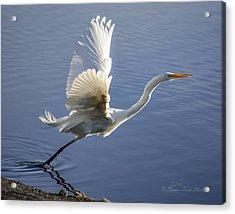 Great Egret Taking Flight Acrylic Print