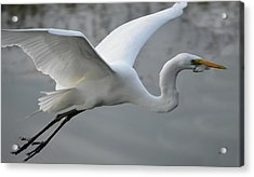 Great Egret With Fish Acrylic Print