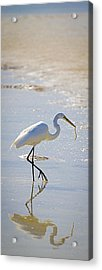 Great Egret With Prey Acrylic Print