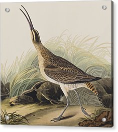 Great Esquimaux Curlew Acrylic Print