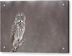 Great Gray Owl In Falling Snow Acrylic Print by Tim Grams