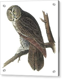 Great Gray Owl Acrylic Print by John James Audubon