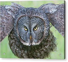 Great Gray Owl Flight Portrait Acrylic Print