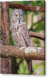 Great Gray Owl On Alert Acrylic Print by Loree Johnson