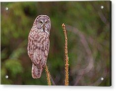 Great Gray Owl Pose Acrylic Print