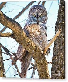 Great Gray Owl Acrylic Print by Ricky L Jones
