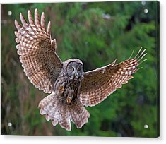 Great Gray Owl Swoop Acrylic Print by Loree Johnson