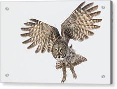Great Grey Flight  Acrylic Print
