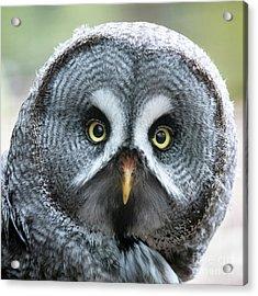 Great Grey Owl Closeup Acrylic Print
