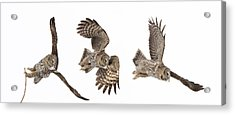 Acrylic Print featuring the photograph Great Grey Owl Hunting by Mircea Costina Photography