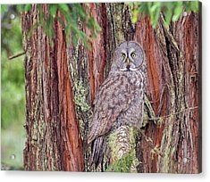 Great Grey Owl In A Giant Redwood Acrylic Print by Loree Johnson