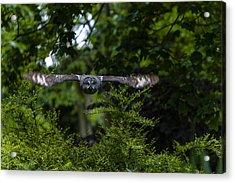 Great Grey Owl In Flight Acrylic Print