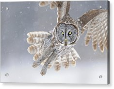 Great Grey Owl In Snowstorm Acrylic Print by Scott  Linstead