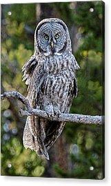 Great Grey Owl Yellowstone Acrylic Print