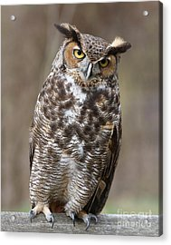 Acrylic Print featuring the photograph Great Horned Owl 3 by Chris Scroggins