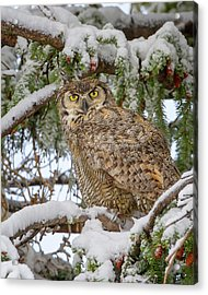 Great Horned Owl In Snow Acrylic Print