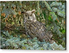 Great Horned Owl Acrylic Print by James Steele