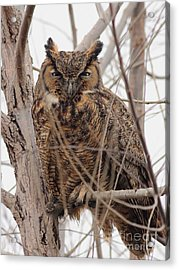 Great Horned Owl Perched Acrylic Print by Wingsdomain Art and Photography
