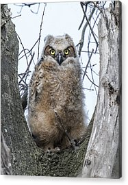 Great Horned Owl Portrait Acrylic Print