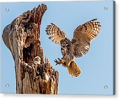 Great Horned Owl Returning To Her Nest Acrylic Print